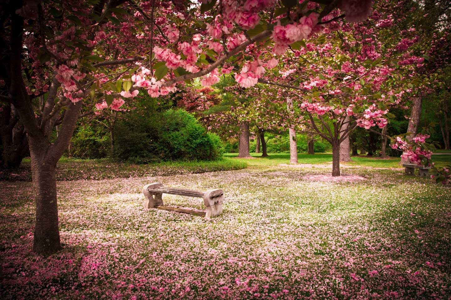 Beautiful park setting and bench amongst pick flowering trees