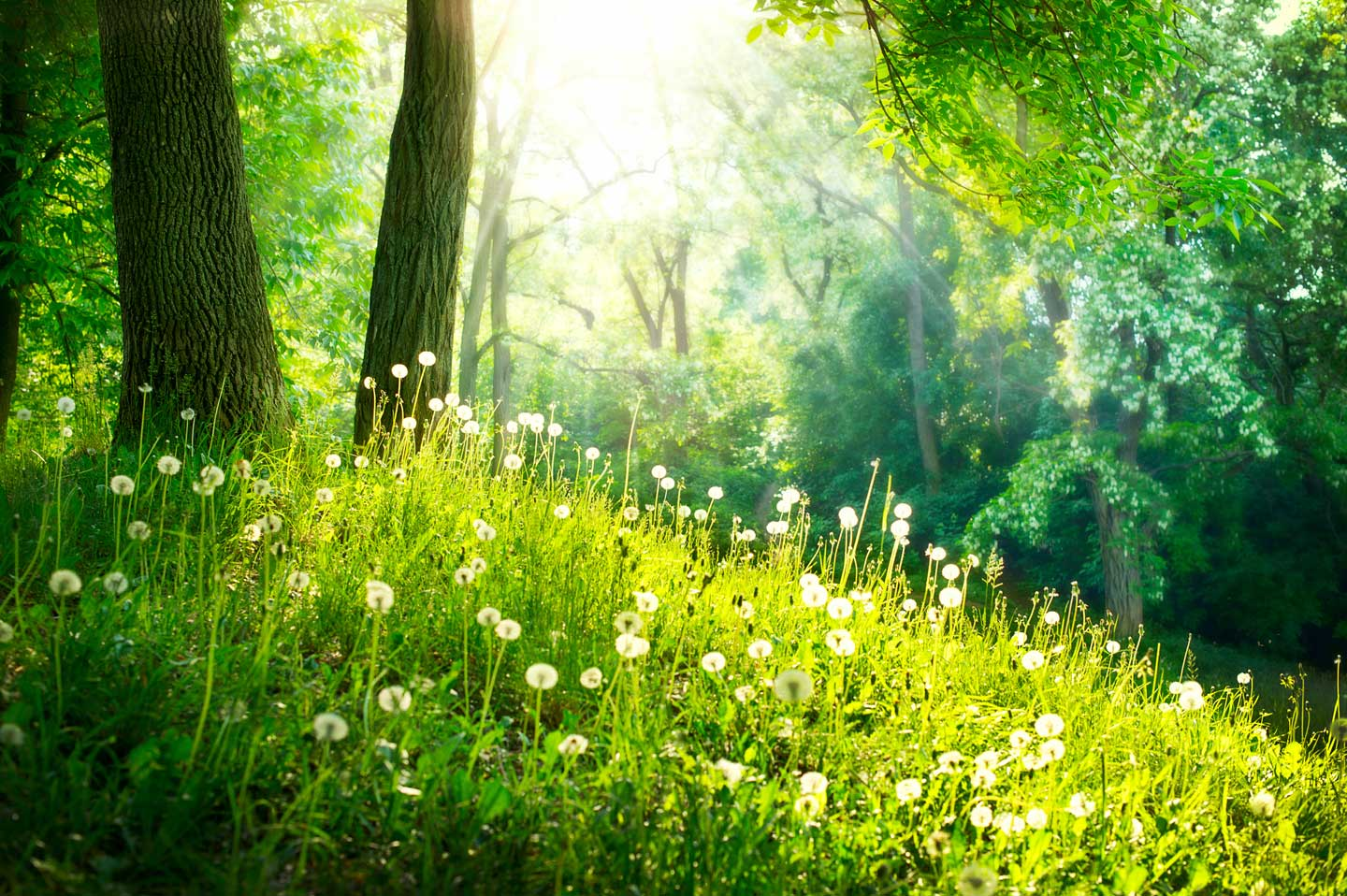 Beautiful green forest with sun filtering through the trees